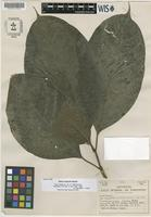 Paratype of Neea urophylla Standl. [family NYCTAGINACEAE]