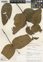 Isotype of Galactophora colellana Morillo [family APOCYNACEAE]