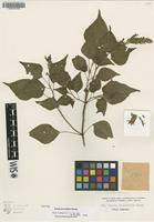 Isotype of Salvia secundiflora Rusby [family LAMIACEAE]