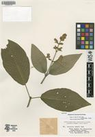 Isotype of Beloperone sanmartensis Rusby [family ACANTHACEAE]
