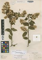 Isotype of Baccharis saliens Rusby [family ASTERACEAE]