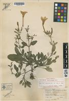 Isotype of Ruellia metzae Tharp [family ACANTHACEAE]