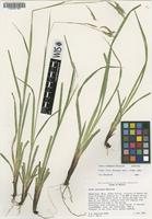 Isotype of Carex caeligena Reznicek [family CYPERACEAE]