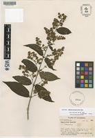 Isotype of Mikania lawrancei B.L. Rob. [family ASTERACEAE]