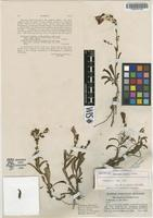 Isotype of Penstemon keckii Clokey [family SCROPHULARIACEAE]