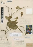 Isotype of Phaseolus vignoides Rusby [family FABACEAE]