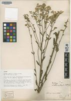 Isotype of Solidago verna M.A.Curtis ex Torr. & A.Gray [family ASTERACEAE]