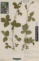 Isotype of Rubus kalamazoensis L.H.Bailey [family ROSACEAE]
