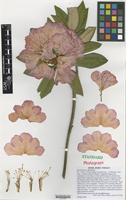 Nomenclatural Standard of Rhododendron cultivar 'Barmstedt' [family ERICACEAE]