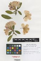 Nomenclatural Standard Portfolio of Rhododendron cultivar 'Percy Wiseman' [family ERICACEAE]