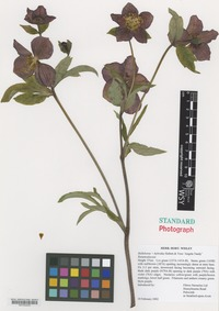 Nomenclatural Standard of Helleborus hybridus Voss cultivar 'Angela Tandy' [family RANUNCULACEAE]