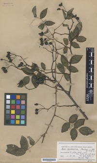 Isotype of Rosa crocacantha Boulenger [family ROSACEAE]