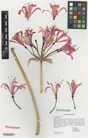 Nomenclatural Standard of Nerine cultivar 'Zeal Salmon' [family AMARYLLIDACEAE]