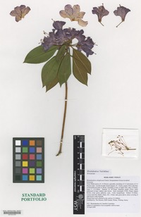 Nomenclatural Standard Portfolio of Rhododendron cultivar 'Ted Millais' [family ERICACEAE]