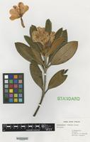 Nomenclatural Standard of Rhododendron cultivar 'Trelean Vision' [family ERICACEAE]