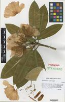 Nomenclatural Standard of Rhododendron cultivar 'James Mangles' [family ERICACEAE]