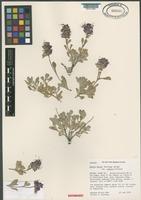 Isotype of Salvia dorrii (Kell.) Abrams var. clokeyi Strachan [family LAMIACEAE]