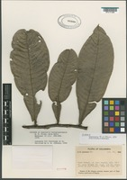 Isotype of Guatteria novogranatensis R.E. Fries [family ANNONACEAE]