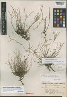 Isotype of Arabis microphylla Nutt. var. thompsonii Rollins [family BRASSICACEAE]