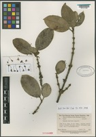 Isotype of Rheedia martinii Maguire [family CLUSIACEAE]
