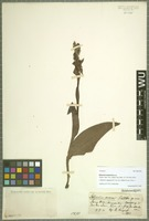 Isotype of Satyrium aceras Schltr. [family ORCHIDACEAE]