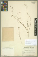 Holotype of Polygonum lineare Sam. [family POLYGONACEAE]