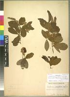 Isotype of Combretum prunifolium Engl. and Diels [family COMBRETACEAE]