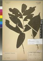 Isotype of Isolona heinsenii Engl.&Diels [family ANNONACEAE]