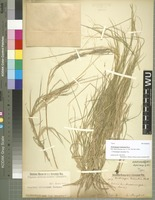 Type of Andropogon tremulus Hack. [family POACEAE]