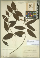 Holotype of Melodinus wrightioides Hand.-Mazz. [family APOCYNACEAE]