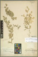 Holotype of Selaginella gebaueriana Hand.-Mazz. [family SELAGINELLACEAE]