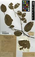 Type of Epinetrum exellianum Troupin [family MENISPERMACEAE]