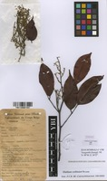 Filed as Dialium corbisieri Staner [family LEGUMINOSAE-CAESALPINIACEAE]