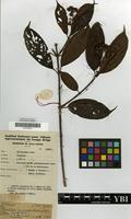 Type of Gaertnera vaginans (DC.) Merr. subsp. vaginans [family RUBIACEAE]