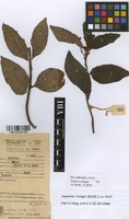 Filed as Impatiens irvingii Hook.f. [family BALSAMINACEAE]