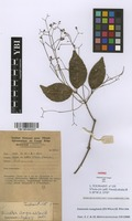 Filed as Simirestis isangiensis (De Wild.) R.Wilczek [family CELASTRACEAE]
