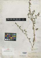 Isotype of Zornia sloanei Griseb. [family FABACEAE]