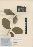 Isotype of Ficus eggersii Warburg [family FICIDAE]