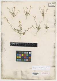 Syntype of Vesicaria recurvata Engelm. ex A. Gray [family BRASSICACEAE]