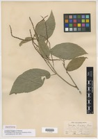 Isotype of Acalypha longipes S. Watson [family EUPHORBIACEAE]