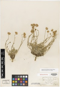 Holotype of Erigeron tweedyanus Canby & Rose [family ASTERACEAE]