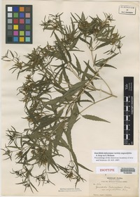 Isotype of Guardiola tulocarpus A. Gray var. angustifolia A. Gray ex S. Watson [family ASTERACEAE]