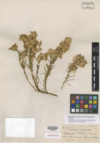 Syntype of Haplopappus bloomeri A. Gray var. angustatus A. Gray [family ASTERACEAE]