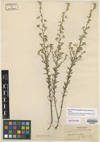 Isotype of Ageratella microphylla (Sch. Bip.) A. Gray ex S. Watson var. palmeri A. Gray [family ASTERACEAE]