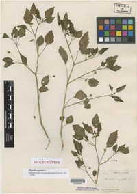 Isolectotype of Physalis angulata L. [family SOLANACEAE]