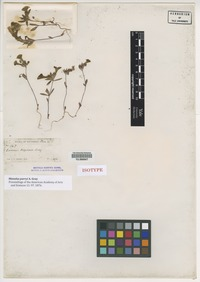 Isotype of Mimulus parryi A. Gray [family PHRYMACEAE]
