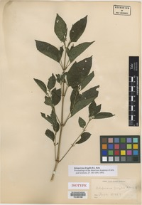 Isotype of Beloperone fragilis B.L. Rob. [family ACANTHACEAE]
