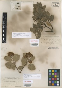 Isotype of Arctostaphylos pungens Kunth var. platyphylla A. Gray [family ERICACEAE]