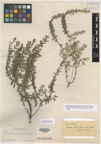 Isotype of Poliomintha glabrescens A. Gray ex Hemsl. [family LAMIACEAE]