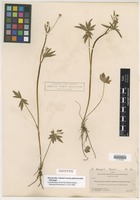 Isotype of Ranunculus nelsonii A. Gray var. glabriusculus Holzinger [family RANUNCULACEAE]